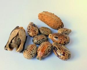 Semená ricínového oleja