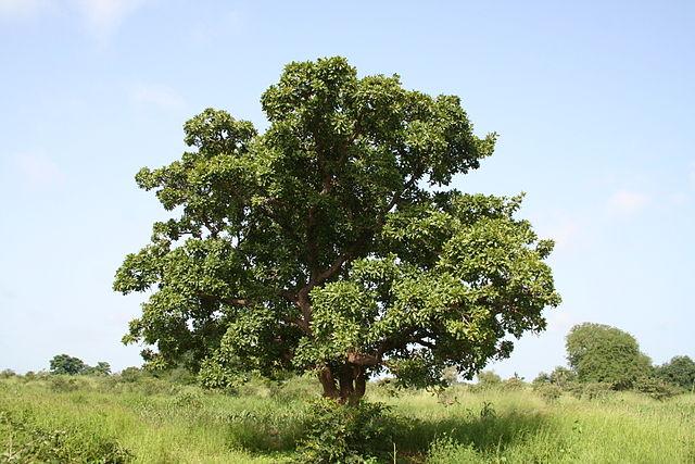 Strom maslovník - bambucké maslo
