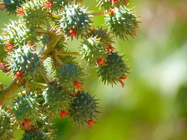 Plody ricínového oleja