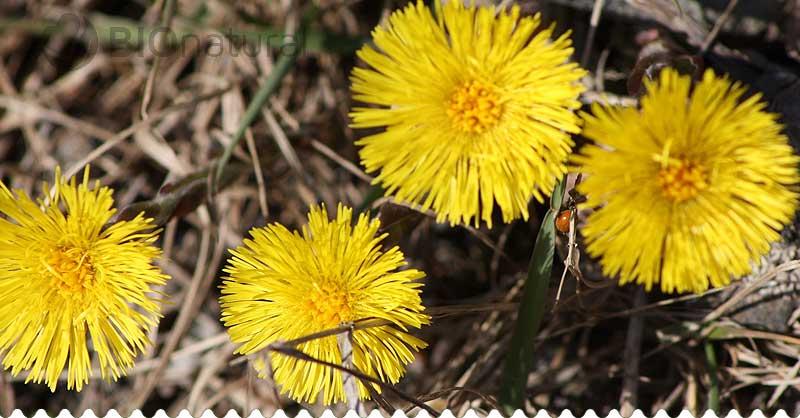 Bylinkové recepty na mesiac marec - podbeľ liečivý